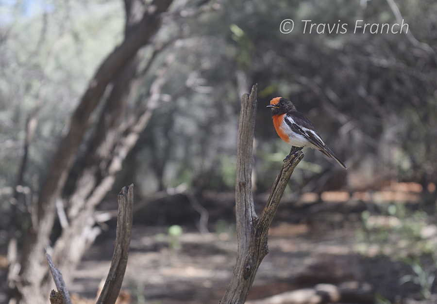 A red-capped robin in the Outback