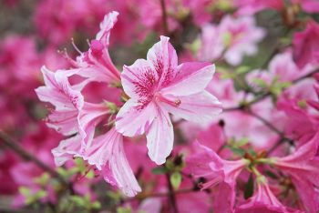 Detail of blooming spring azalea.